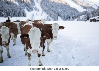 Cows in snow in the tyrol alps