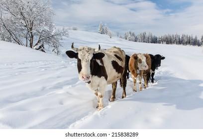 Cows in the snowy mountains, Carpathians, Ukraine