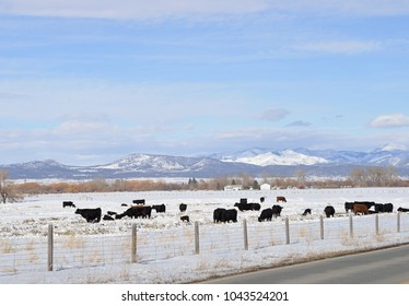 Cows in spring snow with new calves