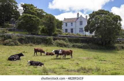 Cows at St David's, Pembrokeshire, Wales, Great Britain