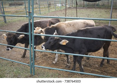 Cows in stable