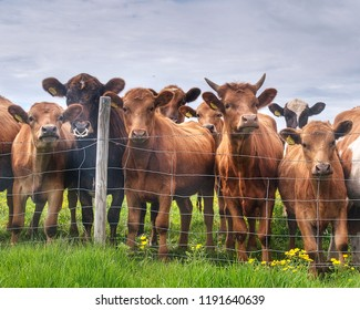 cows standing  behind a barbed wire fence.