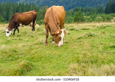 Cows standing on green field with mountains and eating grass. Carpathians background