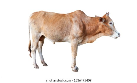 Cows Standing on a white background
