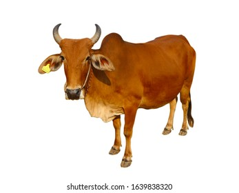Cows Standing on a white background    Clipping Path