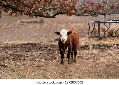 Cows standing in the pasture on a ranch in Oklahoma