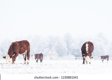 Cows standing in the snow in the winter near a farm