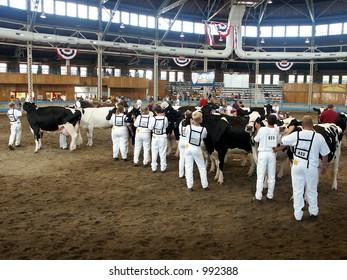 Cows at the State Fair - cow presentation , 2003 Des Moines state fair, Iowa
