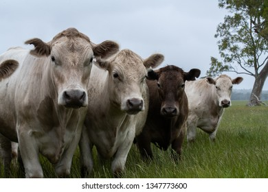 Cows and steers in paddock and field eating grass pasture portrait