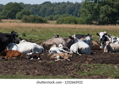 Cows in the summer