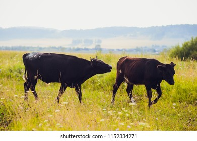 cows at summer green field selective focus