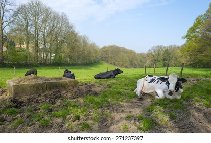 Cows in a sunny meadow in spring