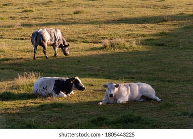 Cows at sunrise, Flanders, Belgium