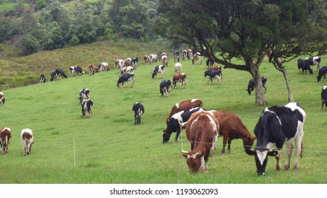 Cows that eating grass freely at Ambewela Farm