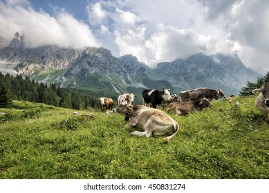 cows that graze and eat in the mountains close to the peaks