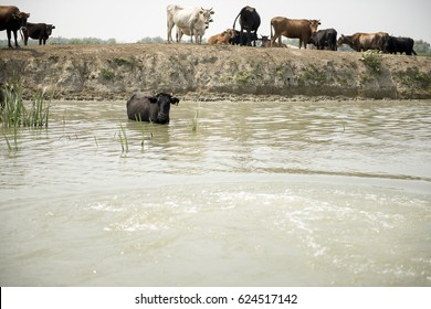 Cows through water on a channel in Danube Delta, Romania, in a summer sunny day