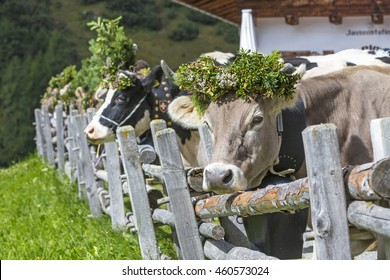 """Cows with traditional decoration during the """"Almabtrieb"""" celebration"""