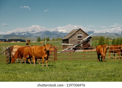 Cows as traditional farming livestock in southern Alberta, Canada