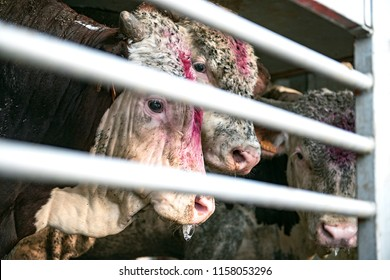 Cows in a truck interior, sad, on the way to the slaughterhouse