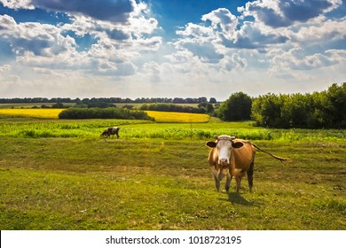 cows in Ukrainian meadows. Vinnytsia region, landscape