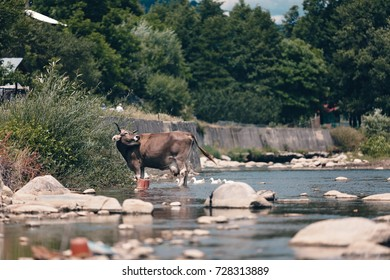 Cows vacuums that cross the river from the cow farm, cattle in the water on countryside