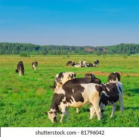 Cows Village Grazing