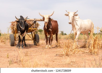 Cows of villagers working on farm in Niamey, Niger. Travel to Niamey in Niger, West-Africa. Lifestyle of people in Sahara and Sahel near the Niger River.