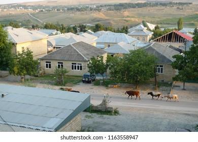 Cows walkin in the street of Shamakhi Azerbaijan