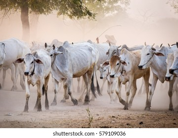 Cows walking on dusty road at sunset in Bagan, Myanmar. Close up.