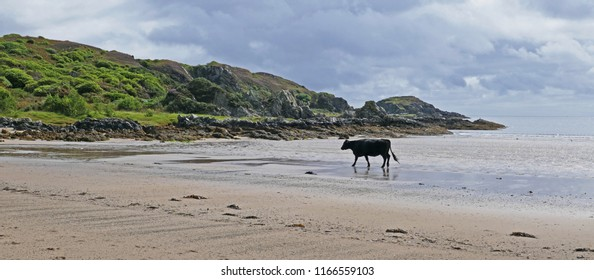 Cows Walking on Scottish Beach