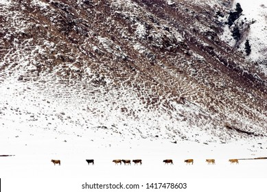 The cows wandering on hillsides of Ardahan plateaus in hardly winter days.