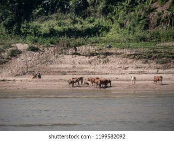 Cows and water buffalows are standing on the bank of the river Mekong, near Houay Xai, Laos