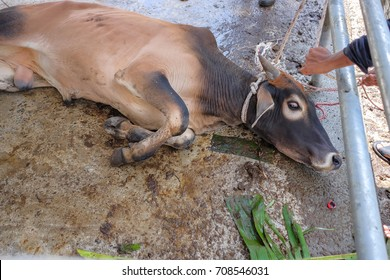 Cows were overthrown and tied in halal slaughtering part of a cow during Eid Al-Adha Al Mubarak, the Feast of Sacrifice or Qurban.