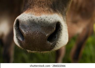 Cow's wet nose close up