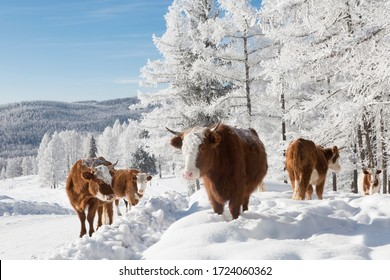 Cows in the winter , among the snowy trees. Altai Mountains, Russia