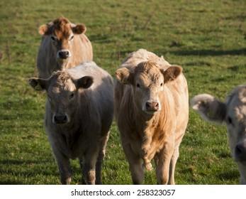 cows,derbyshire