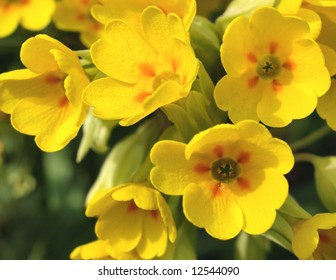 Cowslip, Closeup of bright yellow flowers in the summer sunshine.