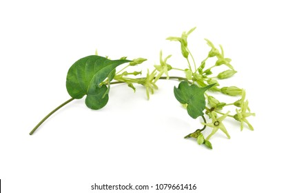 Cowslip creeper isolated on white background