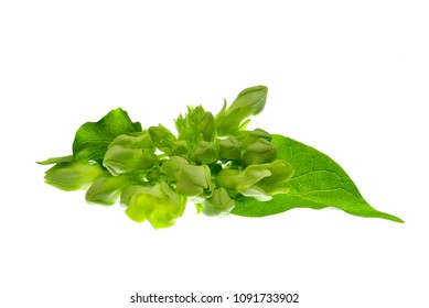 Cowslip creeper and leaves isolated on white background
