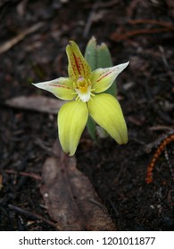 Cowslip orchid Mt Trio Stirling Range National Park