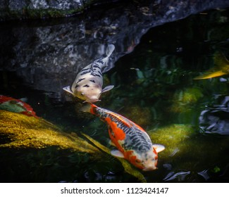 Coy fish swimming around chasing tails.