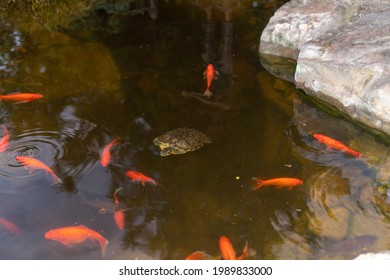 Coy fish and turtles swimming around in a coy pond in northern Georgia