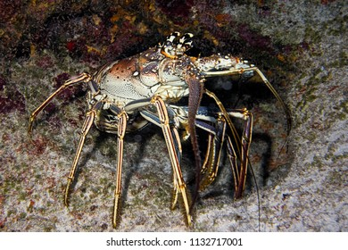 Coy Lobster - Nassau, Bahamas