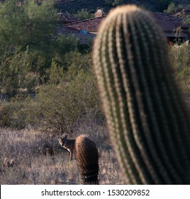 a coyote in the Arizona desert searching for food.