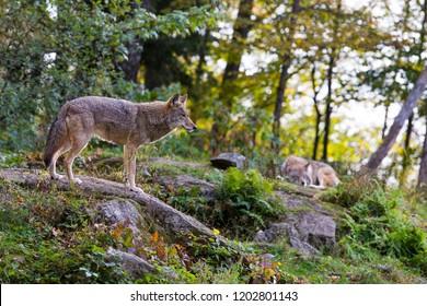 coyote in autumn