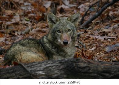 Coyote behind fallen tree