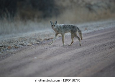 coyote  in Bosque del Apache national wildlife refuge in New Mexico, USA