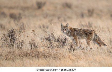 A coyote in Canada in Winter