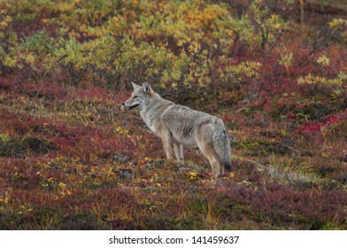 Coyote (Canis latrans) an animal success story in adaptation largely due to its opportunistic feeding habits. Range: Alaska, Canada, United States, Mexico and Central America.