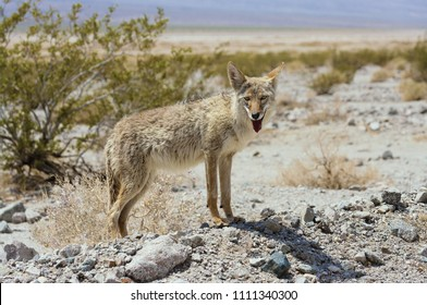 Coyote (Canis latrans) in the California desert.